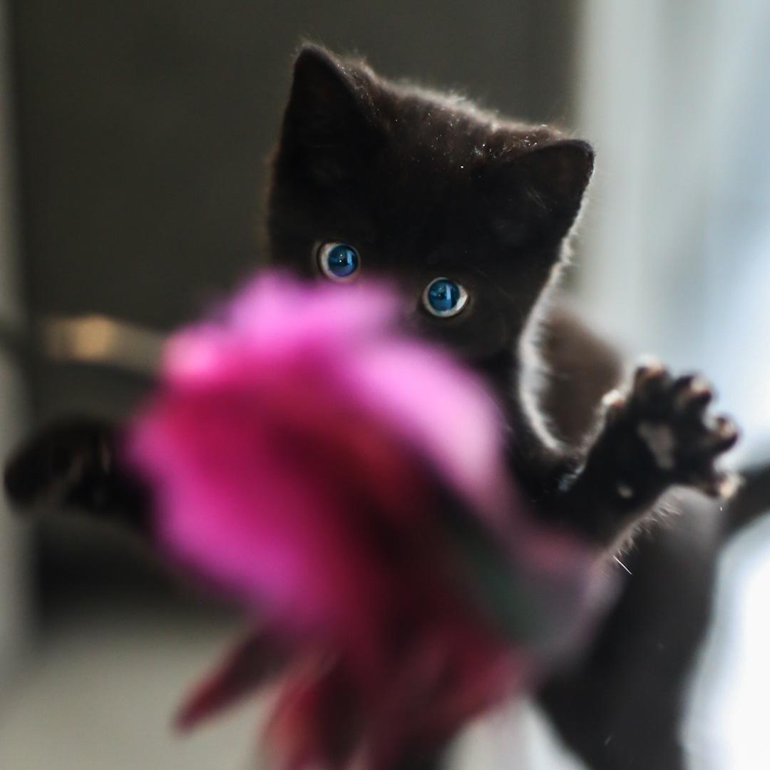 Gato cazando y jugando con juguete para gatos